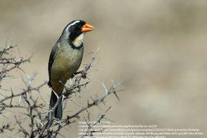 Pepitero de collar (Saltator aurantiirostris)-02